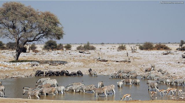 Etosha national park, Herds of springbok, wildebeest and zebra drinking from a waterhole<sup>1</sup>