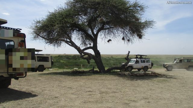 Turner's spring of Serengeti national park, a pride of lions resting under shade
