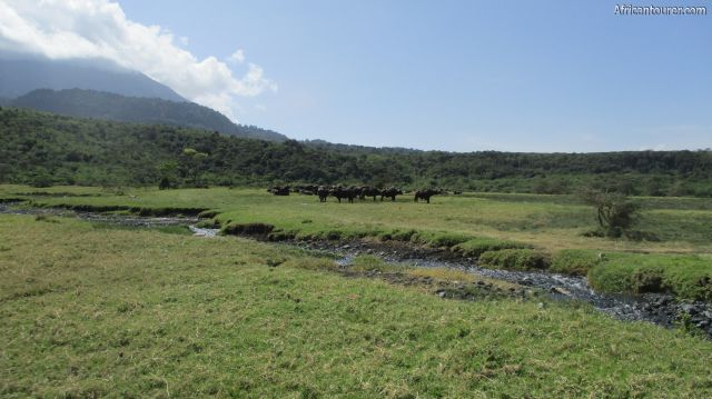 Uwanja wa mbogo (buffalo's glade) of Arusha national park, a herd of buffalos grazing on the path to Tululusia waterfalls - further up this river